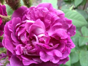 Unnamed Moss Rose